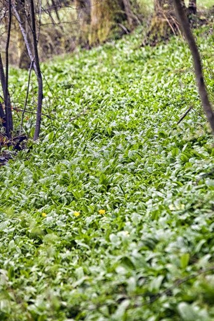 Bärlauch finden - Tipps bei der Kräuterwanderung