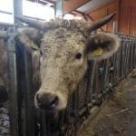 Charolais Rinder zeichnet ein lockiges helles Fell aus.