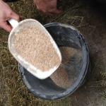 Vor der Schlachtung werden die Wagyu-Rinder zusätzlich mit Kraftfutter gefüttert.