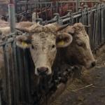 Charolais Rinderzucht am Zederberghof in St. Johann - Blog ConnyPURE