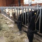 Die Wagyu Rinder sind nur im Winter im Stall.