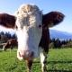 Salzburger Kühe